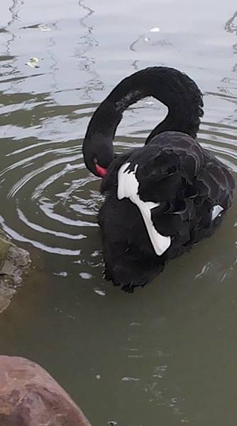 黑天鵝42