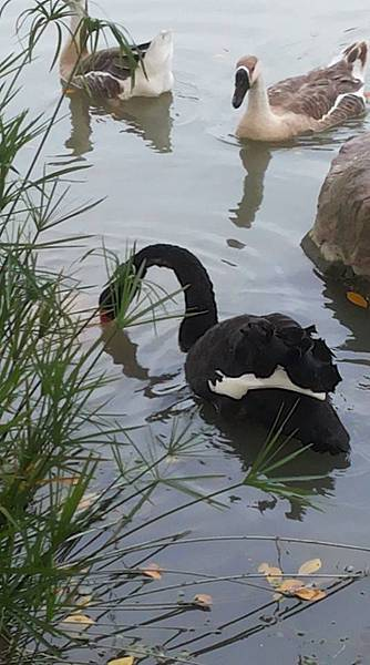黑天鵝13