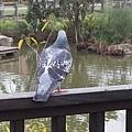 鴿子4.jpg