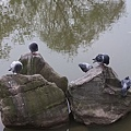 鴿子8.jpg