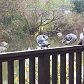 鴿子7.jpg