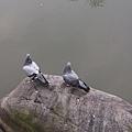 鴿子9.jpg