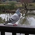 鴿子14.jpg