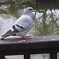 鴿子16.jpg