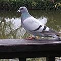 鴿子23.jpg