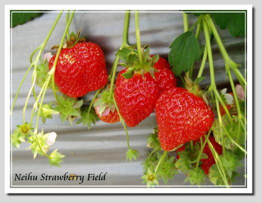 內湖草莓園