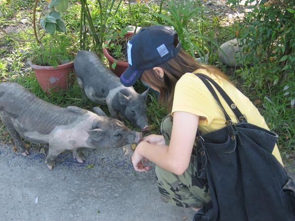 宜農牧羊場裡有三隻小豬.