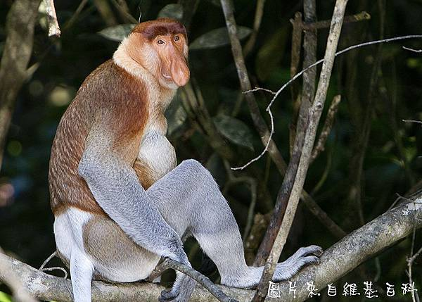 1280px-Proboscis_Monkey_in_Borneo