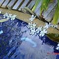 每天泳池上都會有很多雞蛋花