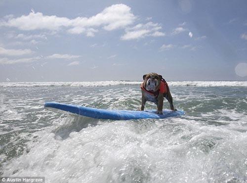 認真的公狗最帥氣!狗衝浪大賽 胖鬥牛犬得第一.jpg