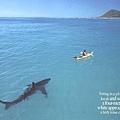 【照片】大白鯊的感恩-01.jpg