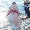 【照片】大白鯊的感恩-04.jpg