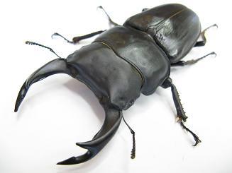 BEKUWA蟲
