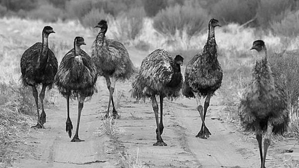 emu-war-678x381