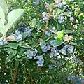 結實累累的藍莓﹝小常識:果實外包覆的白粉是天然保護層,並非農藥殘餘﹞