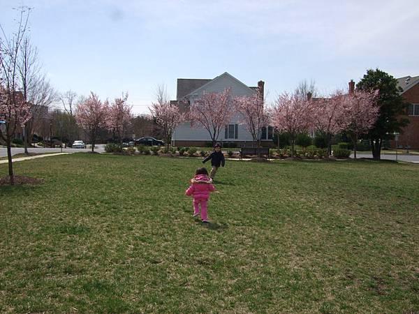 社區裡有不少櫻花樹