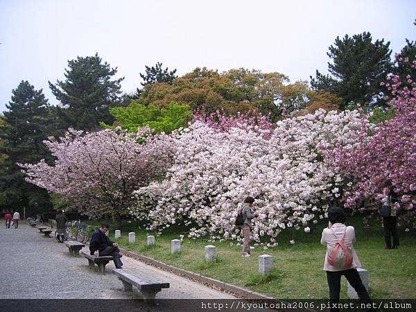 京都御苑之櫻