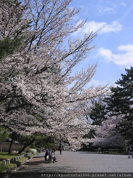 京都御苑之櫻-2