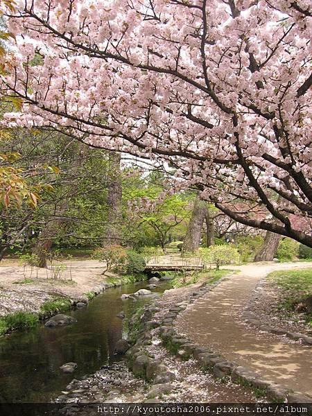 京都御苑出水小川之櫻