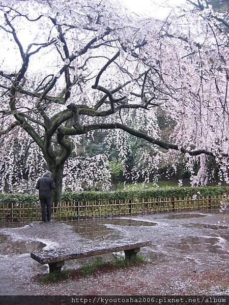 京都御苑近衛邸垂枝櫻-3
