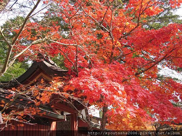京都高雄楓紅-4