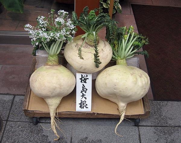 800px-Sakurajima_daikon.jpg