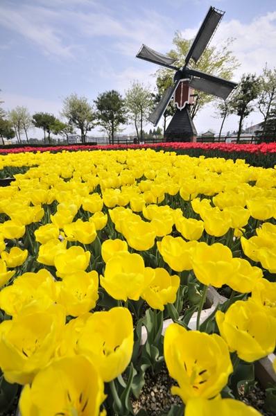 tulip013