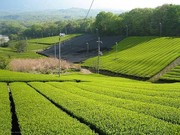 1280px-Tea_Minami-yamashiro,_Kyoto_01