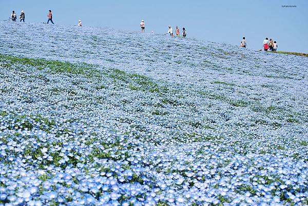 Baby_blue-eyes,Nemophila,Hitachinaka-city,Japan