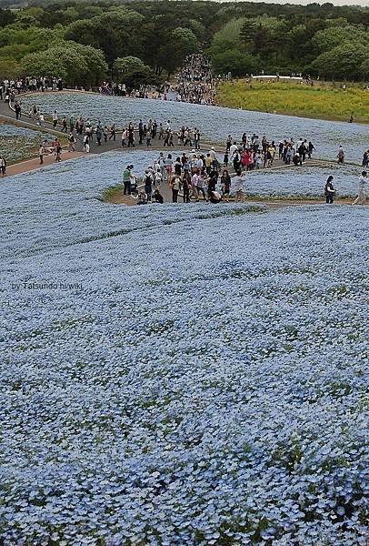 Nemophila_Hitachi_Seaside_Park