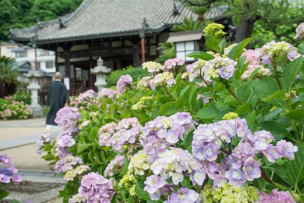 No4336_持光寺のあじさいの花
