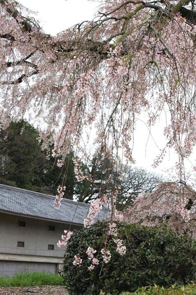 kise-sakura_k29.jpg
