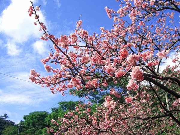yaesakura cherry blossom.jpg