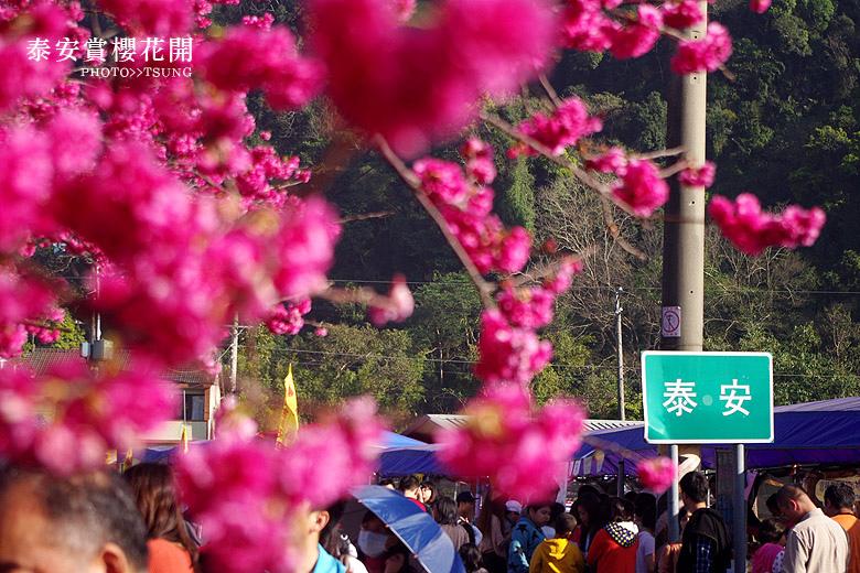 台中賞櫻熱門景點