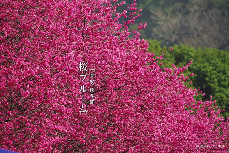 賞櫻熱門景點