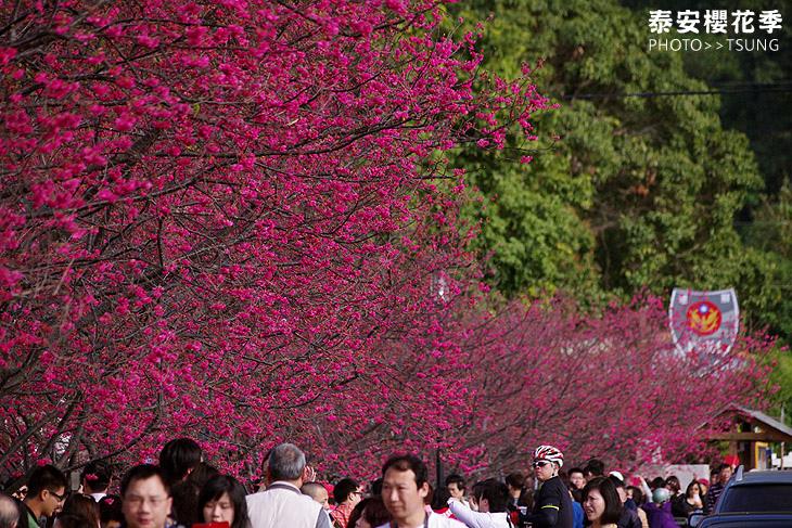 后里區泰安櫻花季