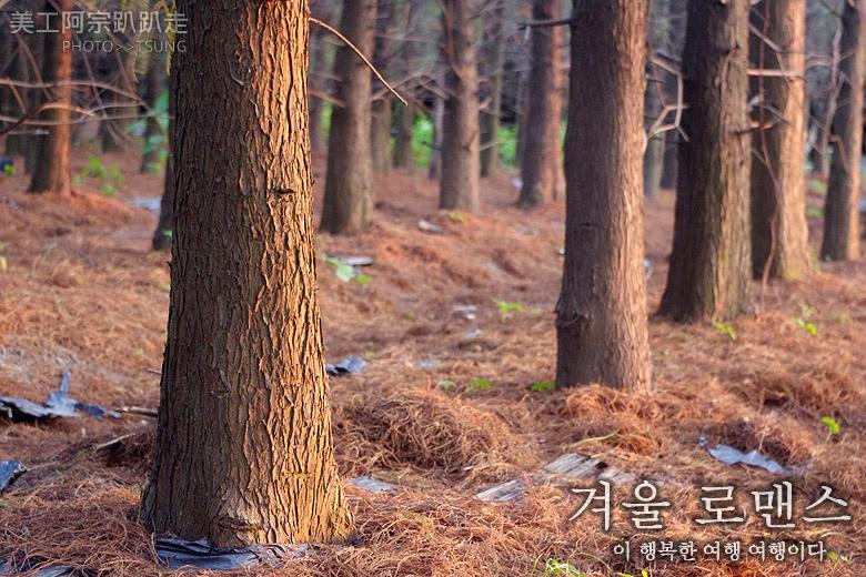 大肚落羽松林