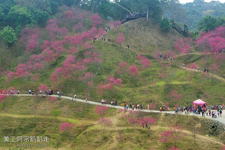 2015台中春暖櫻花開(2月10日花況)