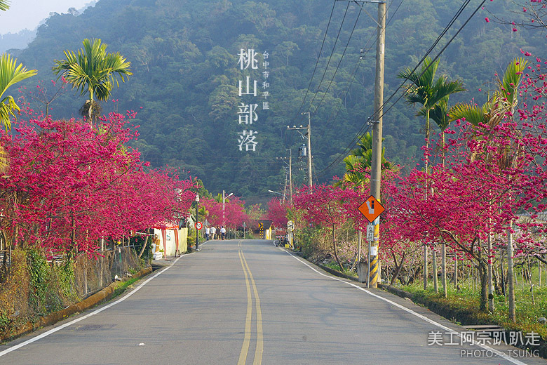 2015台中春暖櫻花開