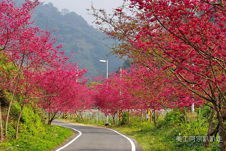 2015台中春暖櫻花開(