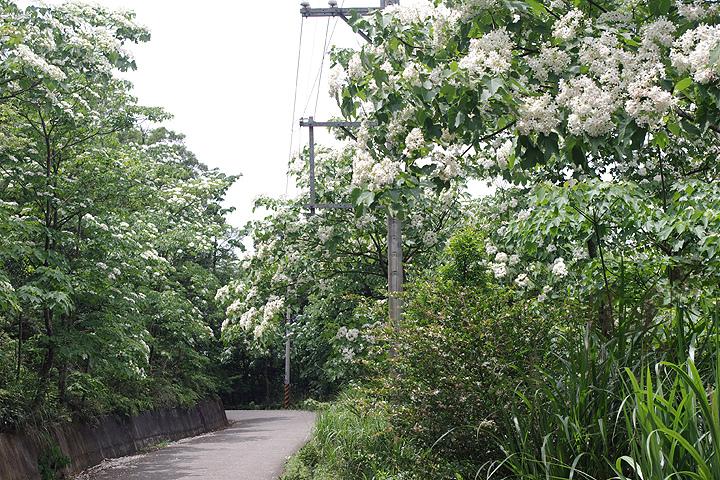 2015客家桐花季私房景點