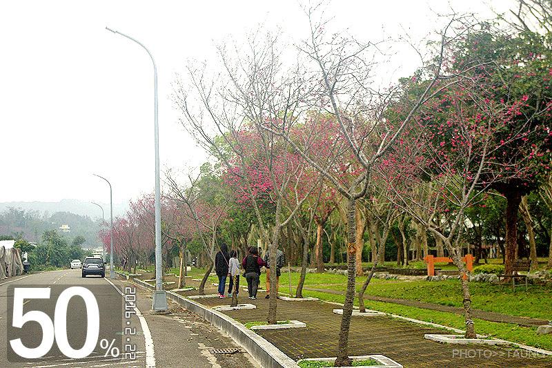 新社區公所前櫻木花道