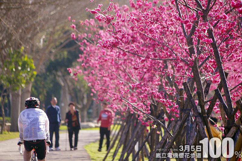 台中市櫻花花況