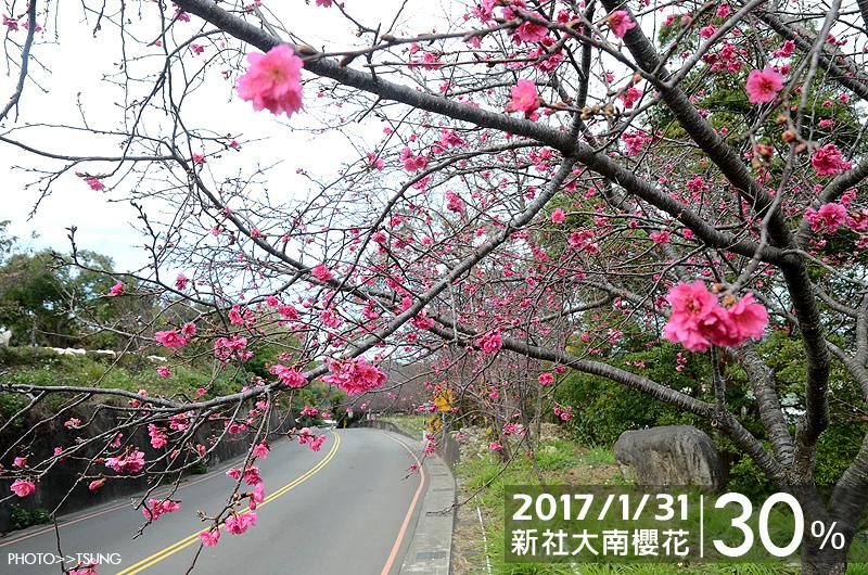 新社區大南櫻花坡花況