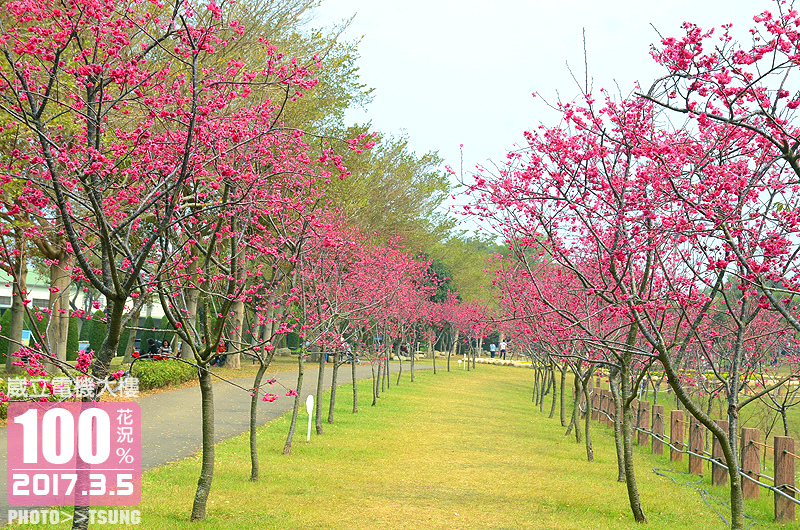 泰安櫻花季