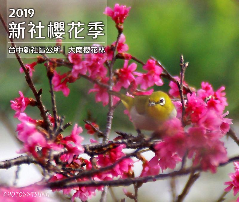 2019新社櫻花季