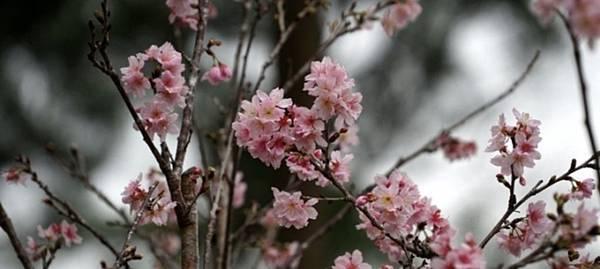 台北櫻花.jpg