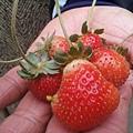 窗戶邊的草莓.jpg