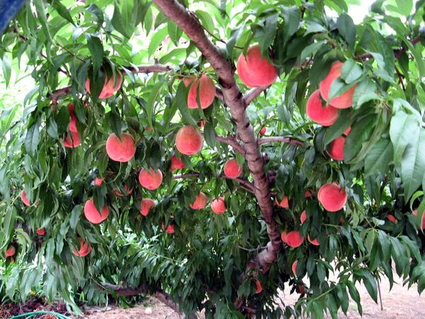 超大顆水蜜桃