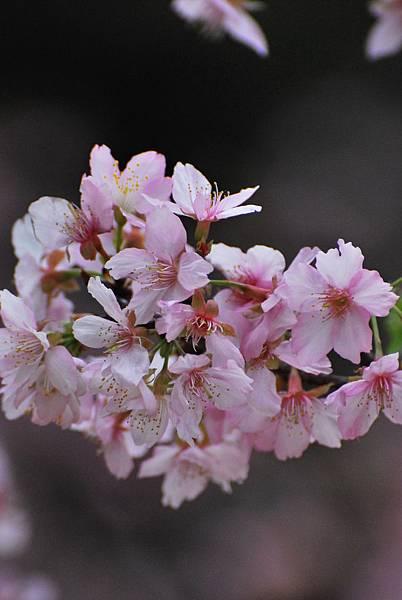 水仙花麗池櫻花1040210 082
